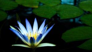 bluelotus-flower1